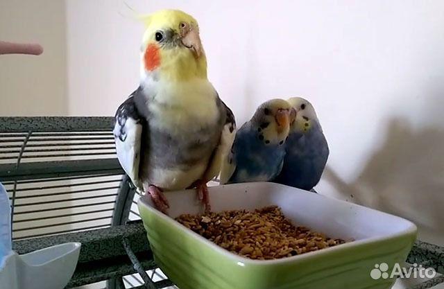 Уживаются ли корелла и волнистый попугай