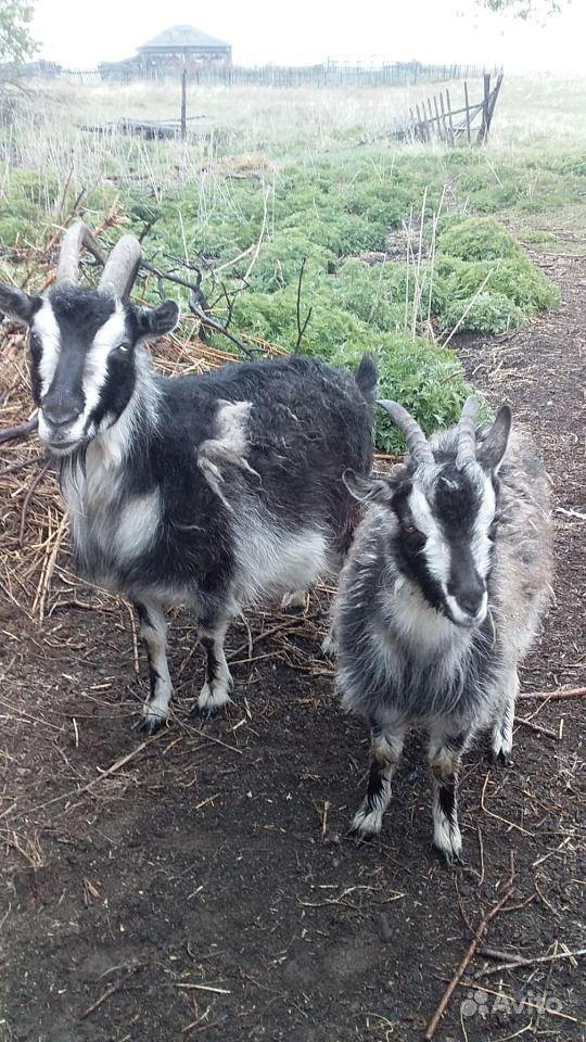 Дойные козы альпийской породы