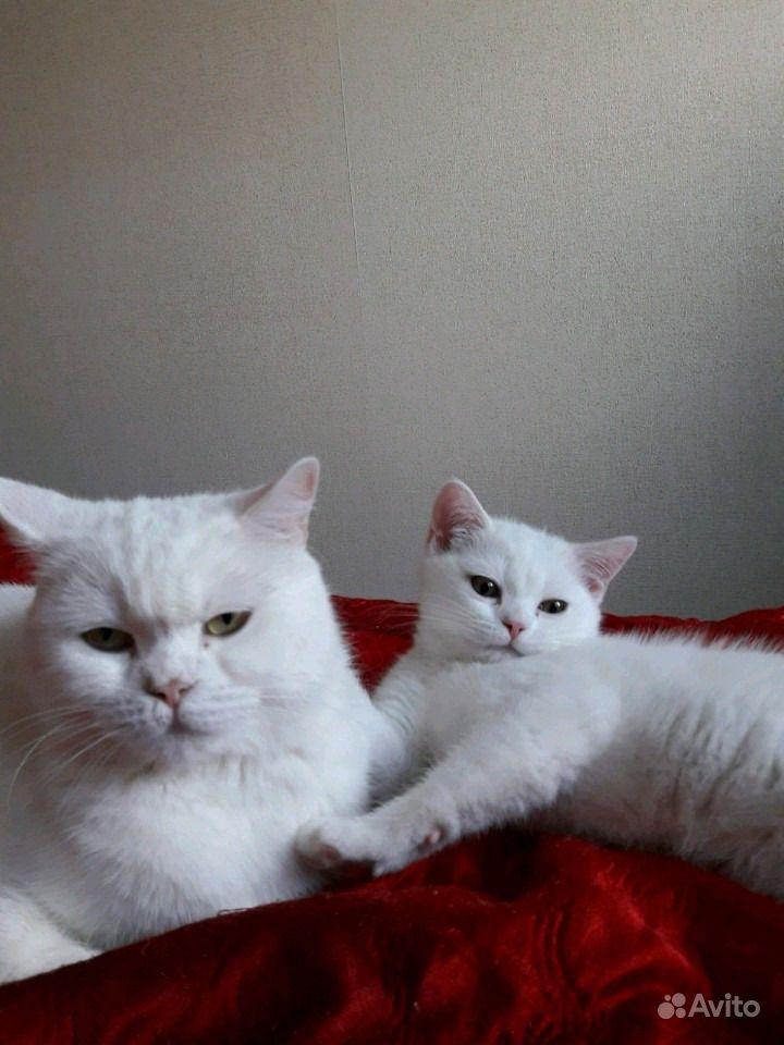 Белый британский котенок в Санкт-Петербурге - фотография № 3