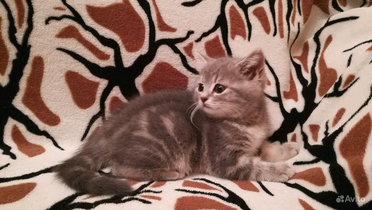 Британские котята в Воронеже - фотография № 3