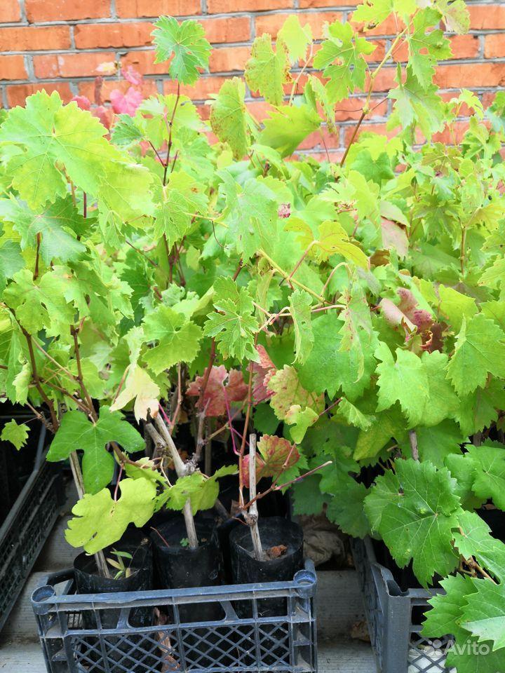 Саженцы винограда купить на Зозу.ру - фотография № 1