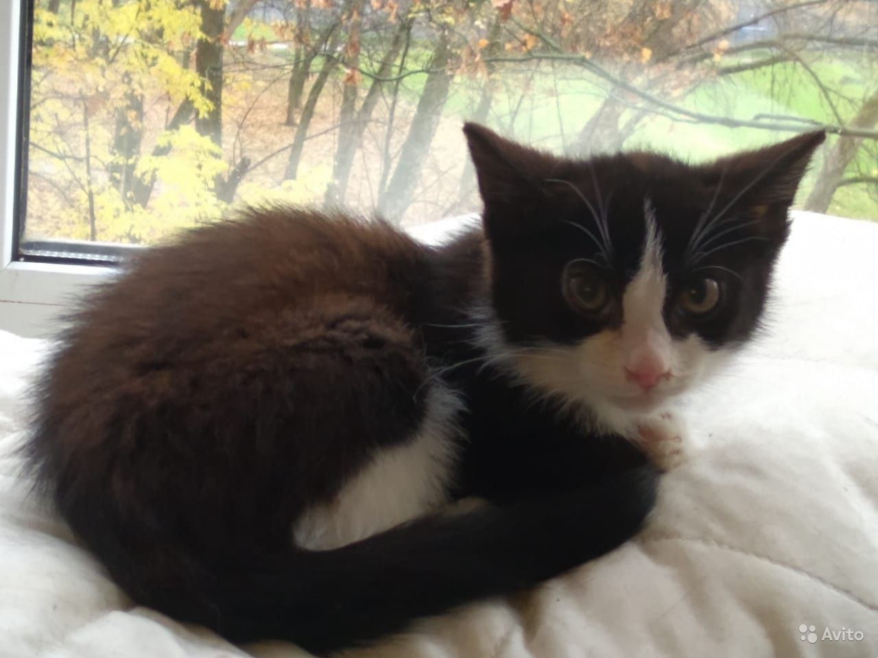 Котята черно-белые и трехцветка 2мес - фотография № 3
