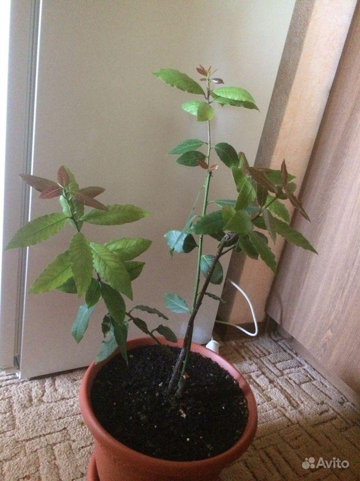 Лавровое дерево купить на Зозу.ру - фотография № 2