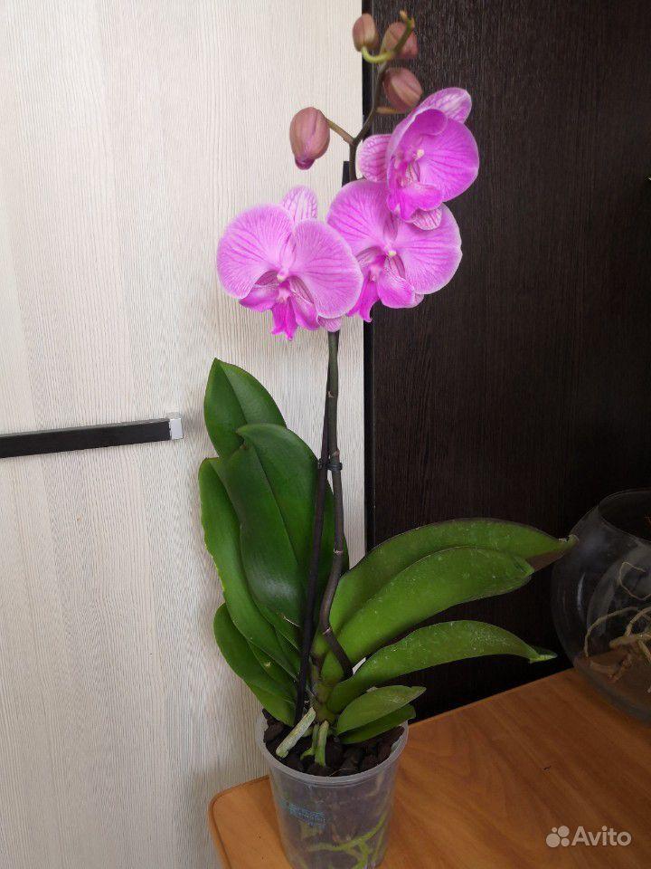 Шикарные орхидеи биг лип купить на Зозу.ру - фотография № 1