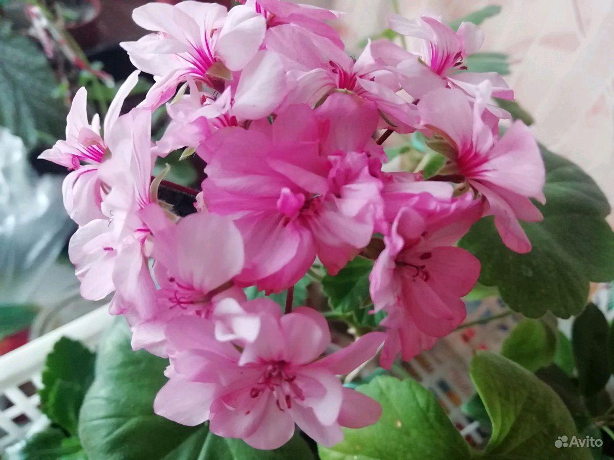 Герань белая, розовая, красная, малиновая купить на Зозу.ру - фотография № 1