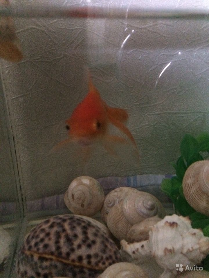 Рыба золотая купить на Зозу.ру - фотография № 1