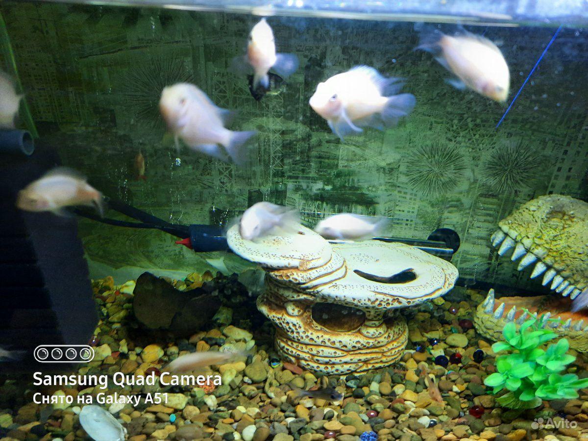 Рыбки розовые фламинго купить на Зозу.ру - фотография № 1