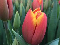 Тюльпаны к 8 марта — Растения в Белореченске