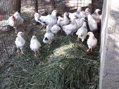Цыплята адлерская серебристая 2 мес