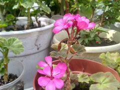 Розовая пеларгония (герань)