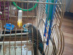 Продаю волнистого попугая самачку