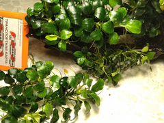 Карликовый Анубиас, растения аквариумные