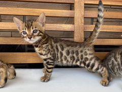 Бенгальские котята леопардики