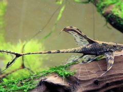 Стурисома панамская. Взрослый самец