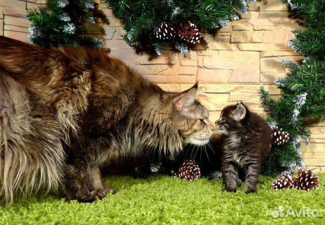 Мейн кун цена котенка краснодар