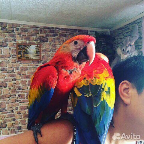 Купить ару попугая в москве цена