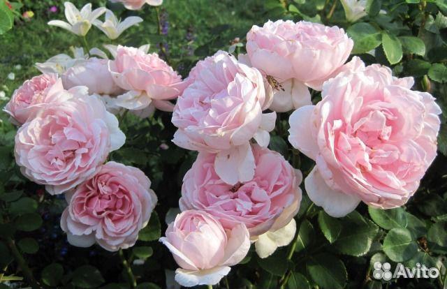Купить садовые розы в москве интересный подарок парню на 14 февраля своими руками