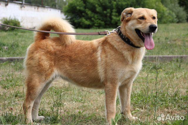 Булка - невозможно плюшевая собака) купить на Зозу.ру - фотография № 1