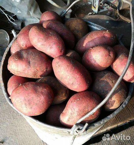 многим тех, сорт картофеля розара описание фото отзывы могут быть