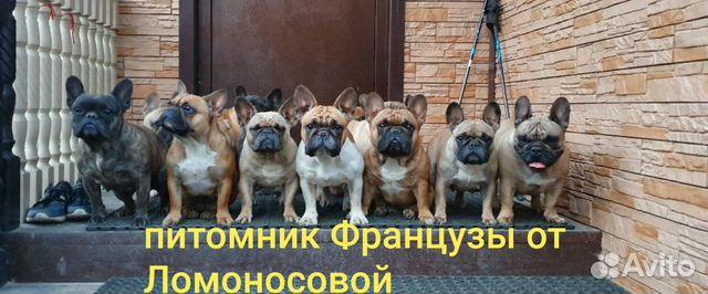 Шикарные дети французского бульдога отЧемпионов купить на Зозу.ру - фотография № 8