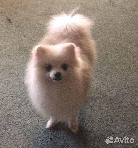 Подрощенный щенок цвергшпица купить на Зозу.ру - фотография № 6