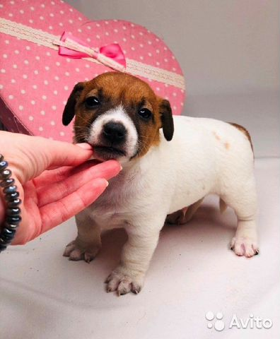 Джек рассел терьер большой выбор щенков купить на Зозу.ру - фотография № 3