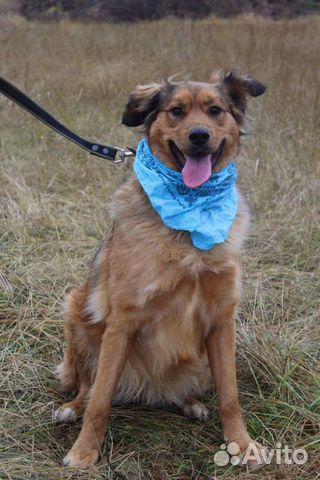Рыжая собака красотка Джесси в дар купить на Зозу.ру - фотография № 6