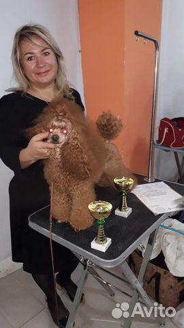 Высокопародные щенки Той пуделя РКФ купить на Зозу.ру - фотография № 9