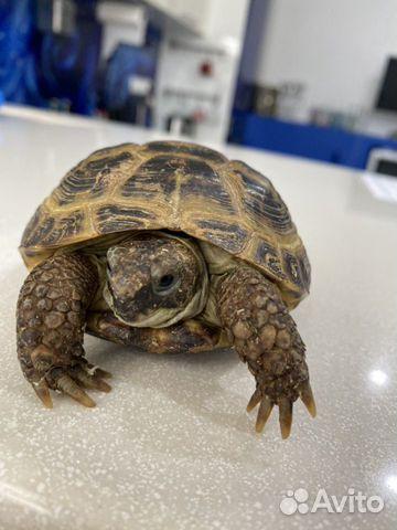 Черепаха  купить 2