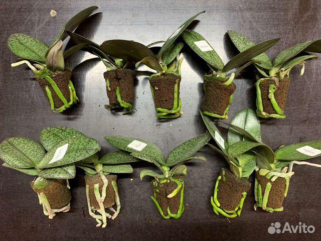 Орхидеи  89091710609 купить 9