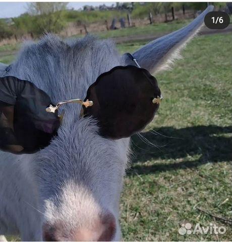Продам коз дойных и двух козликов рожденных в июне