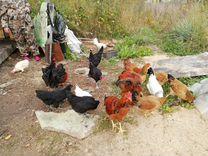 Цыплята, инкубационное яйцо куры и индоутка