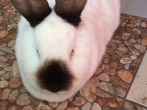 Калифорния самки и крольчата