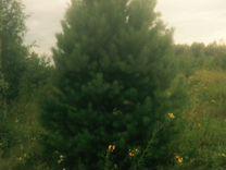 Саженцы ель сосна (крупномеры ) деревья