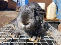 Кролики самки