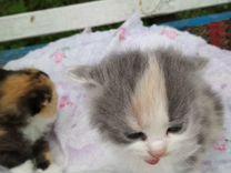 Две трех цветных кошечки