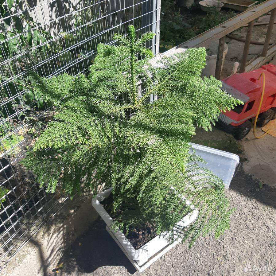 Араукария елка домашняя