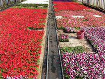 Рассада цветов в Тюмени - однолетние и многолетние