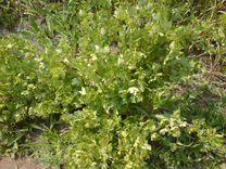 Кусты малины смородины и крыжовника — Растения в Рязани
