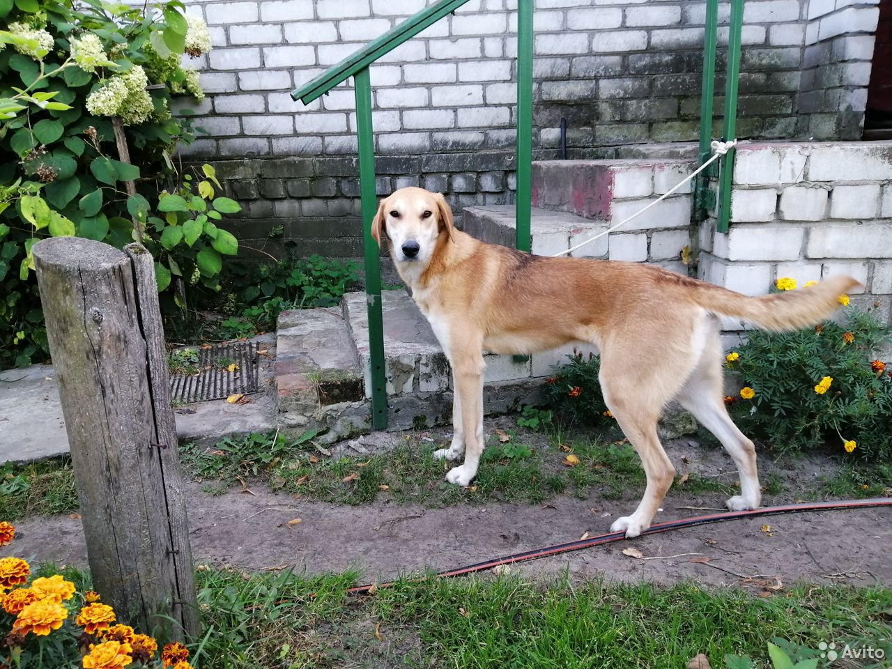 Russian hound  89803176954 buy 3