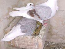 Голуби - чайки