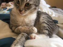 Породистая Кошка 1,5 года голубого цвета