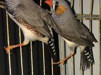 Амадины — Птицы в Геленджике