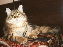 Котик сибиряк