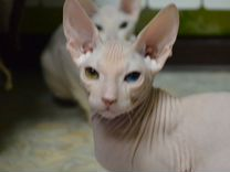 Котята донского сфинкса с родословной