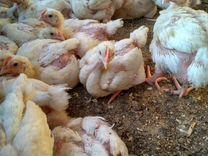 Цыплята бройлера Чехия