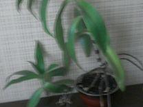 Лечебное растение золотой ус